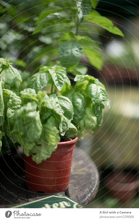 it must not be missing! Nature Plant Spring Agricultural crop Wild plant Basil Herbs and spices Herb garden Caprese Garden Fragrance Growth Healthy Green