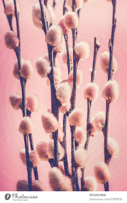 Pink willow catkin Style Design Nature Plant Spring Decoration Bouquet Symbols and metaphors Catkin Pastel tone Colour photo Close-up Macro (Extreme close-up)