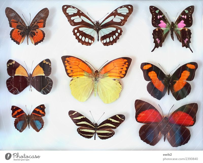 paintbox Butterfly Group of animals Collection Exotic Together Dry Many Blue Brown Multicoloured Violet Orange Red Uniqueness Arrangement Planning Beautiful