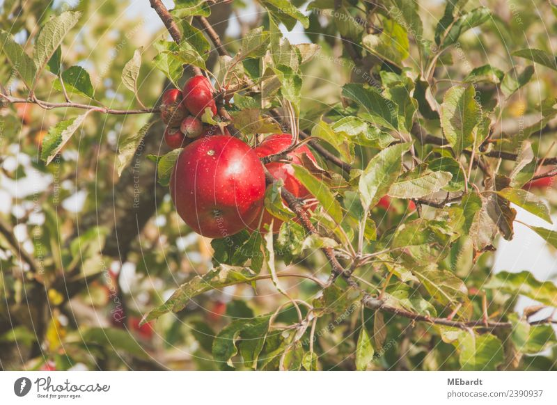 Fresh red apples hanging from the tree in September Fruit Apple Nutrition Harmonious Summer Sun Agriculture Forestry Nature Landscape Clouds Weather Warmth Tree