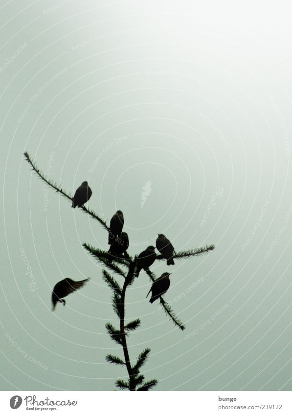 Sky Nature Tree Plant Animal Bird Sit Wait Group of animals Sing Flock Spruce Motion blur Blackbird Whistle