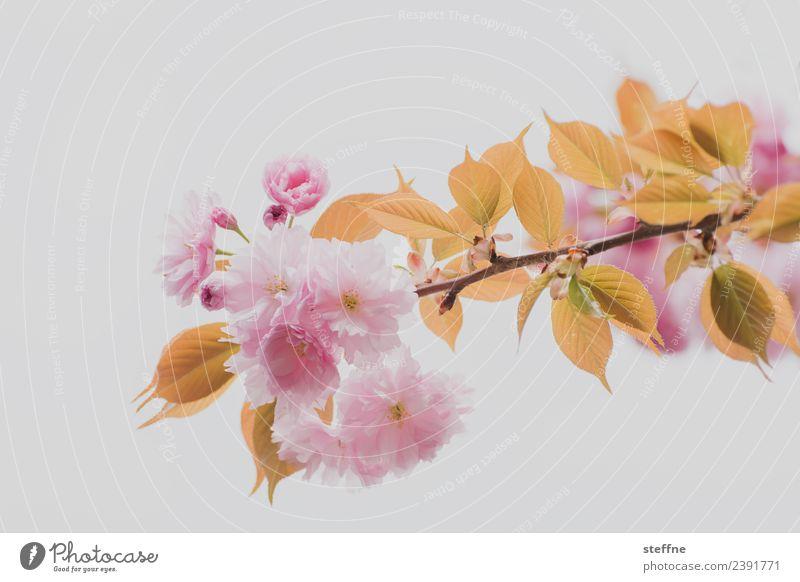 cherry blossom Nature Spring Tree Leaf Blossom Esthetic Cherry blossom Ornamental cherry Pink Colour photo Exterior shot Copy Space left Copy Space right