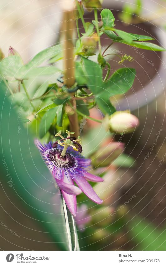 Green Beautiful Plant Summer Blossom Growth Violet Blossoming Exotic Creeper Bind fast Passion flower