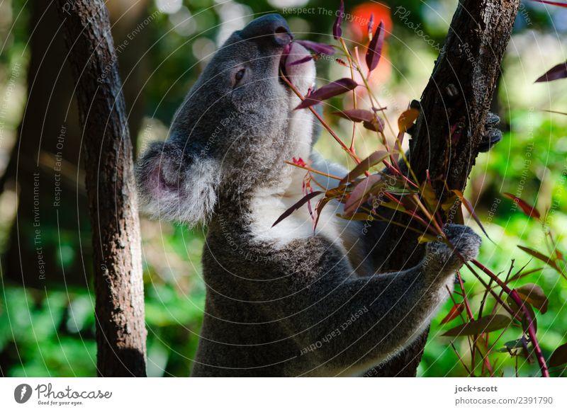 Mmmm Eucalyptus means the koala Animal Exotic Eucalyptus tree Virgin forest Queensland Wild animal Koala 1 To hold on To feed To enjoy Authentic Warmth Emotions