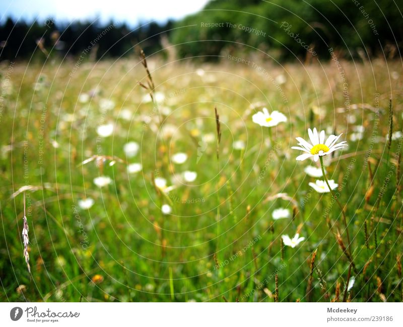 Nature Blue White Green Tree Plant Summer Flower Leaf Black Forest Yellow Landscape Meadow Grass Blossom