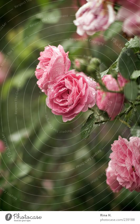 Green Plant Summer Leaf Blossom Weather Pink Climate Wet Drops of water Rose Blossoming Damp Dew Blossom leave Flower
