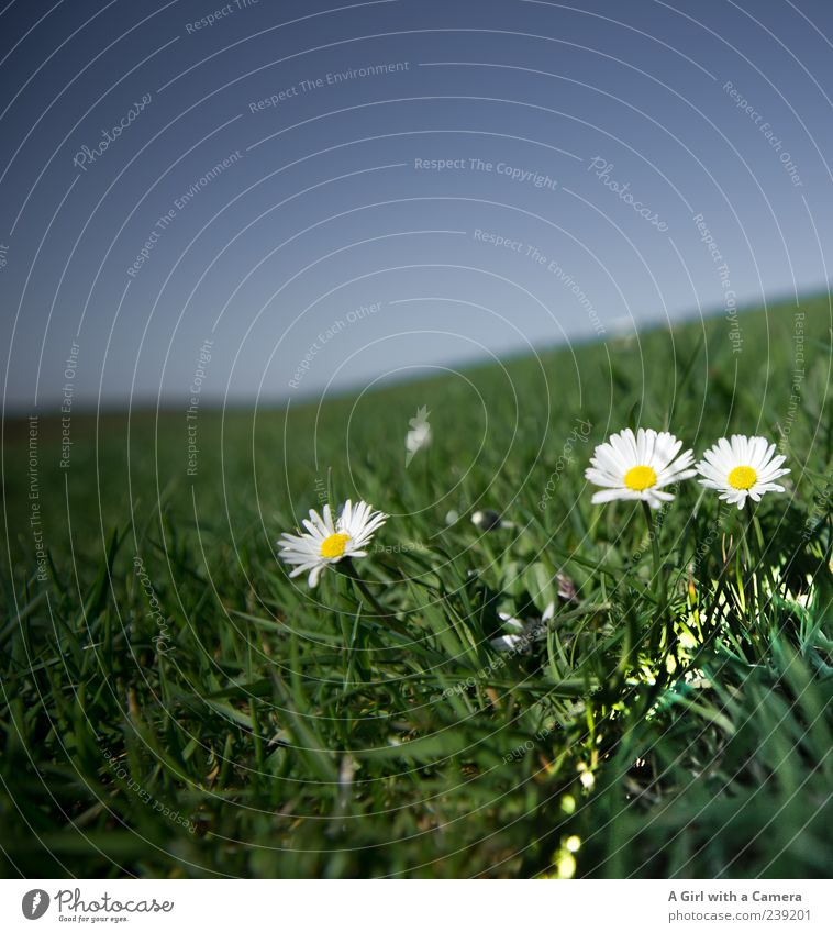 Spiekeroog l towards the sun Nature Plant Sky Cloudless sky Spring Beautiful weather Flower Grass Daisy Meadow Hill Blossoming Illuminate Growth Natural Blue