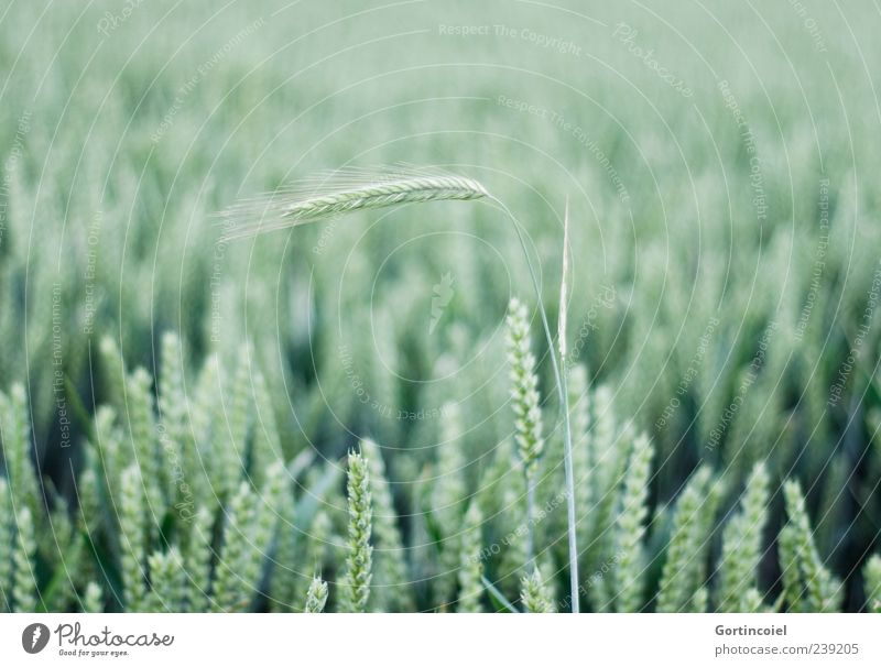 rising Environment Nature Summer Plant Agricultural crop Field Green Grain Grain field Ear of corn Cornfield Bright green Deserted Central perspective Wheat