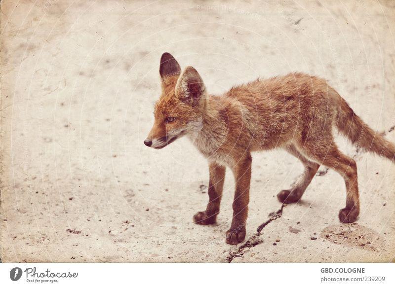 Animal Eyes Baby animal Brown Wild animal Stand Threat Retro Observe Ear Pelt Near Thin Crack & Rip & Tear Brash Paw