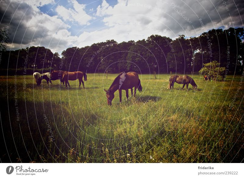 Sky Tree Animal Calm Forest Landscape Meadow Grass Field Bushes Group of animals Horse Idyll Pelt Pasture Pet