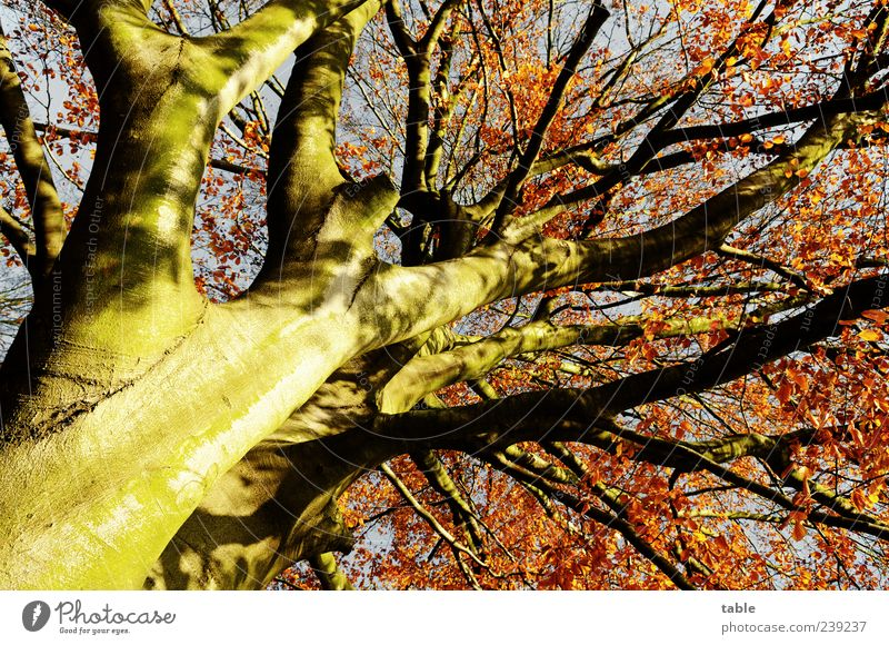 autumn Nature Plant Autumn Tree Tree trunk Branch Twig Leaf canopy Wood Stand Growth Old Esthetic Large Natural Blue Brown Gold Gray Red Unwavering Uniqueness