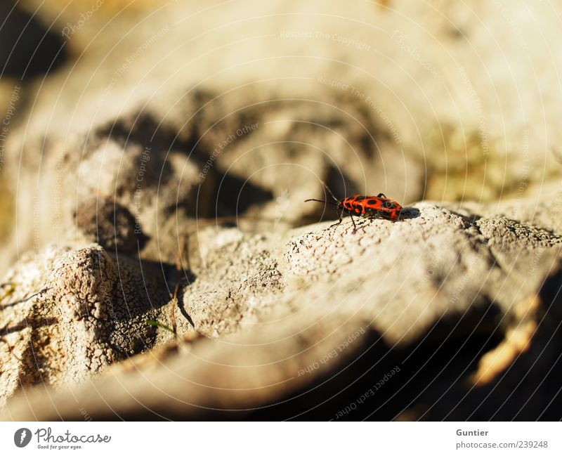 Nature Red Animal Black Yellow Stone Brown Rock Wild animal Insect Crawl Feeler Close-up Bug Firebug