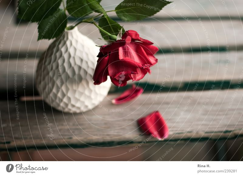 parted Plant Summer Flower Rose Leaf Blossom Faded Red White Sadness Pain Transience Goodbye Vase Wooden chair Garden chair Still Life Colour photo
