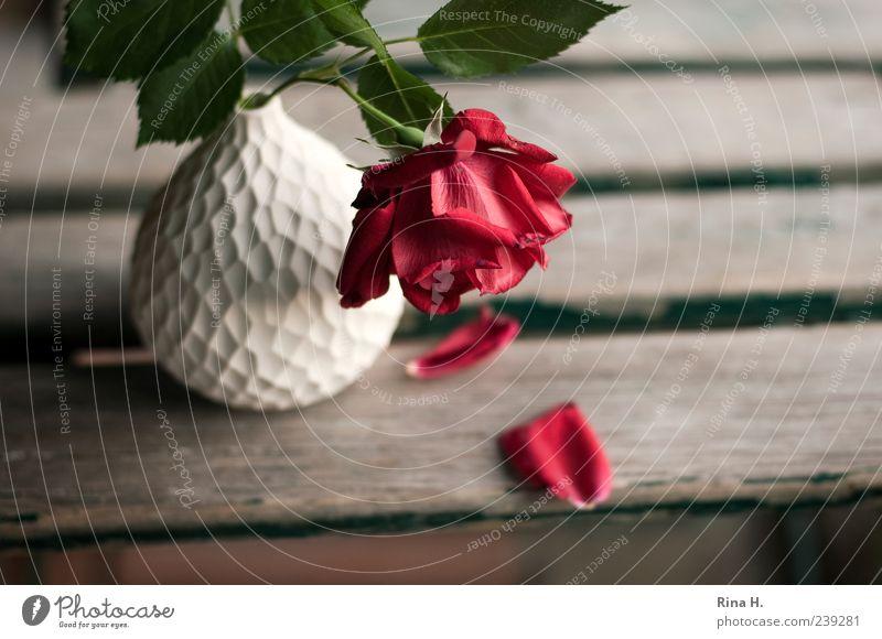 White Red Plant Summer Flower Leaf Blossom Sadness Rose Transience Pain Still Life Goodbye Vase Faded Garden chair