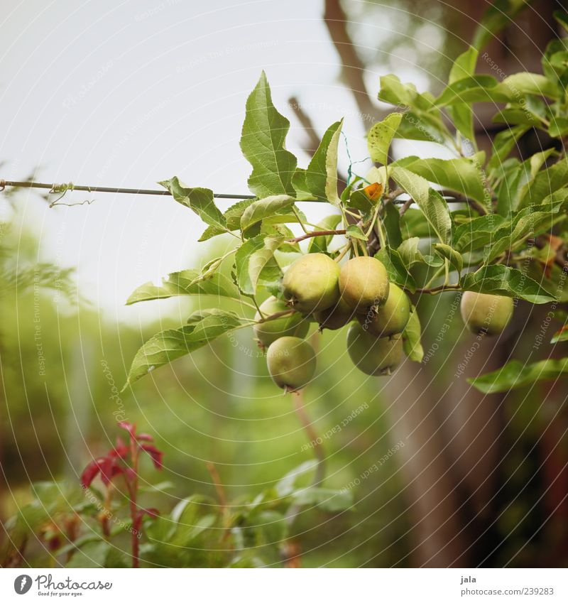 Nature Tree Plant Food Grass Garden Bushes Apple Delicious Organic produce Foliage plant Vegetarian diet Apple tree Twigs and branches Agricultural crop Fruit