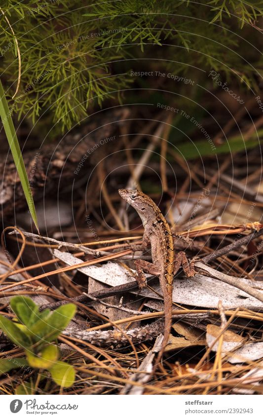 Brown anole lizard Anolis sagrei Nature Bushes Animal Wild animal Animal face 1 Green brown anole Saurians Reptiles Bahaman anole Immokalee Florida wildlife