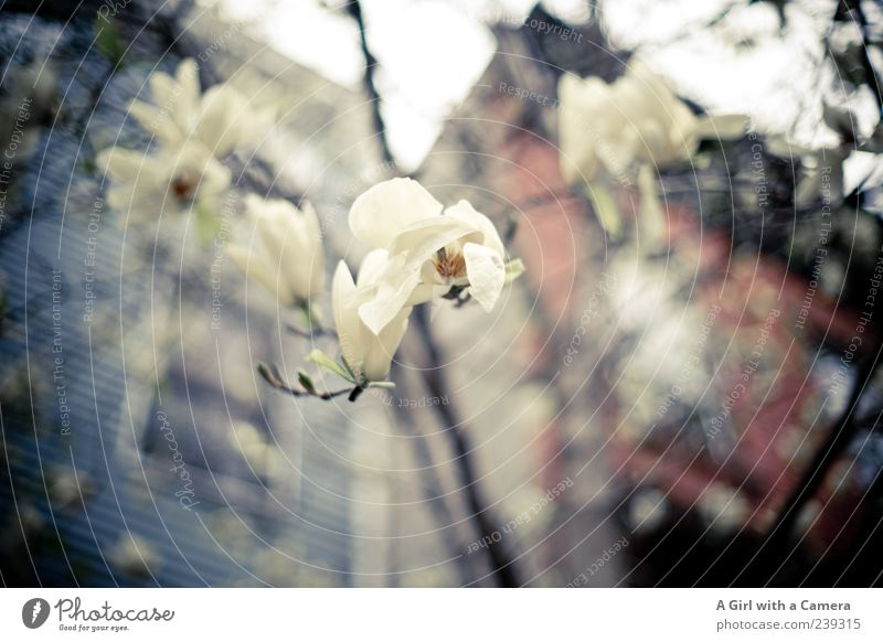 White Flower House (Residential Structure) Spring Building Growth Manmade structures Blossoming Magnolia plants Magnolia blossom