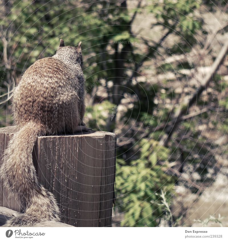 Sandy C. Animal Wild animal Pelt 1 Sit Small Near Natural Cute Retro Soft Nature Squirrel Back Tails Cuddly Beautiful Rear view Deserted Wood