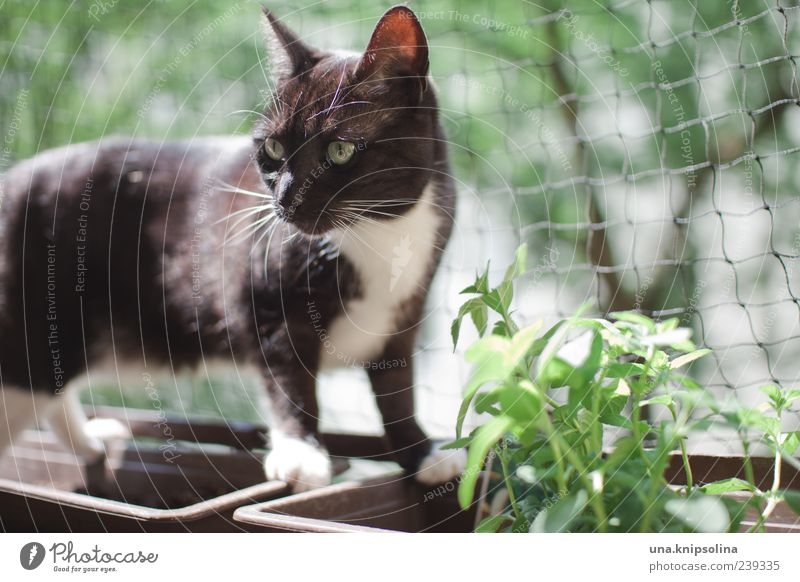 cats.mint Plant Herbs and spices Mint Animal Pet Cat 1 Observe Looking Green Window box Net Black Cat's head Balcony plant Forward Balance Colour photo