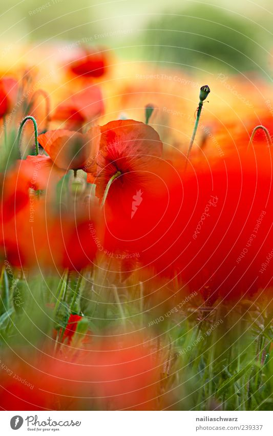 poppy dream Summer Nature Plant Beautiful weather Flower Blossom Wild plant Poppy blossom Blossoming Fragrance Relaxation Multicoloured Yellow Green Red