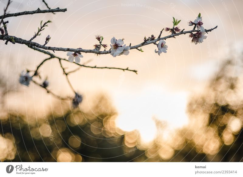 almond blossom Harmonious Well-being Senses Relaxation Calm Nature Plant Sky Sun Spring Beautiful weather Flower Blossom Agricultural crop Twig Almond blossom