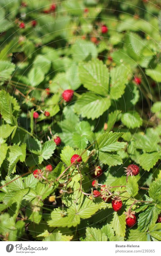 Sweet temptation Food Fruit Nature Wild plant Strawberry variety Garden To enjoy Fragrance Green Red wild strawberries A matter of taste Tasty Alluring