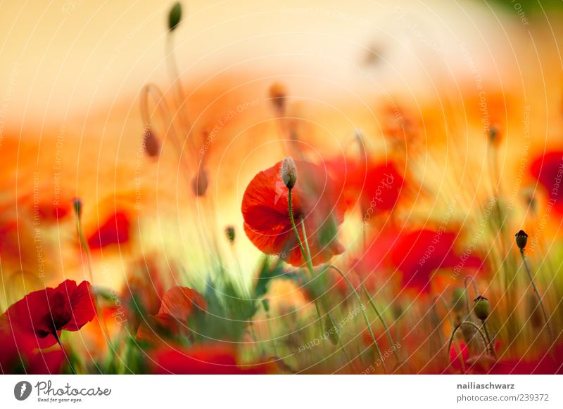 Nature Green Beautiful Red Plant Summer Flower Yellow Meadow Life Blossom Dream Art Moody Field Exceptional