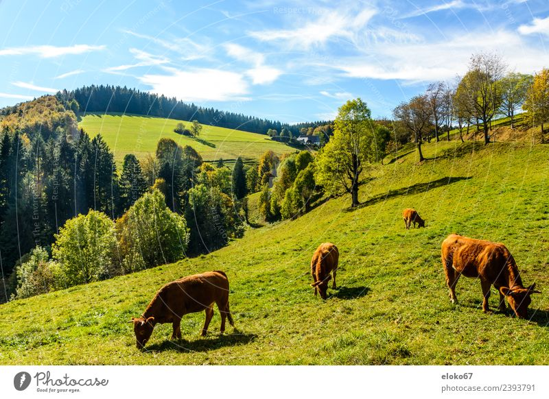 Black Forest Summer Nature Joie de vivre (Vitality) Spring fever grass eating Background picture sky cow mammal forest landscape animal field meadow farm green