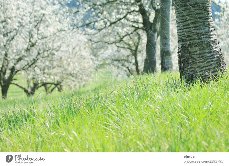 cherry meadow Environment Nature Plant Spring Beautiful weather Tree Grass Blossom Cherry tree Cherry tree bark Cherry blossom Fruittree meadow Meadow