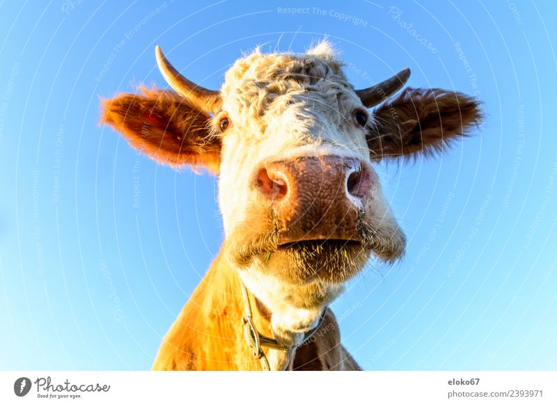 cow Summer Nature Esthetic Kitsch Natural Slimy Crazy Athletic portrait of a cow animal farm agriculture beef mammal white cattle head grazing grass dairy