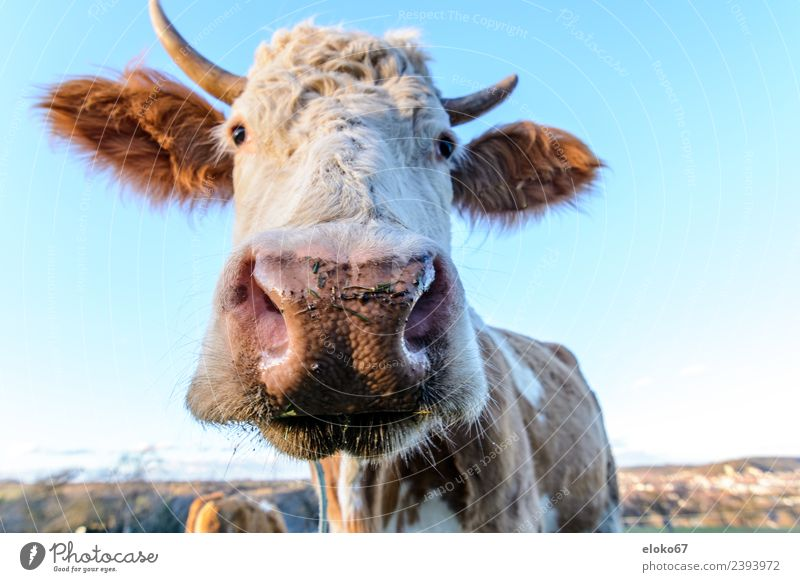 cow Summer Nature Diet Breathe Observe Fragrance Watching TV Feeding Smiling Looking Sleep Playing Stand Illuminate Authentic Near Blue animal farm agriculture