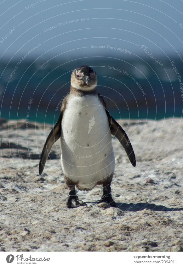 penguin Beautiful weather Ocean Animal Penguin 1 Stand Blue Black White Peaceful Colour photo Exterior shot Close-up Deserted Day Blur Central perspective