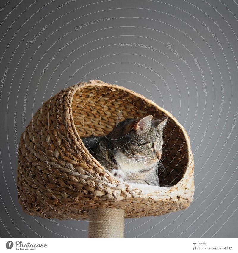 Shere Khan Elegant Pet Cat Pelt 1 Animal To enjoy Friendliness Beautiful Cute Calm Basket Cat's head Cat's ears cat basket Wall (building) Gray Domestic cat