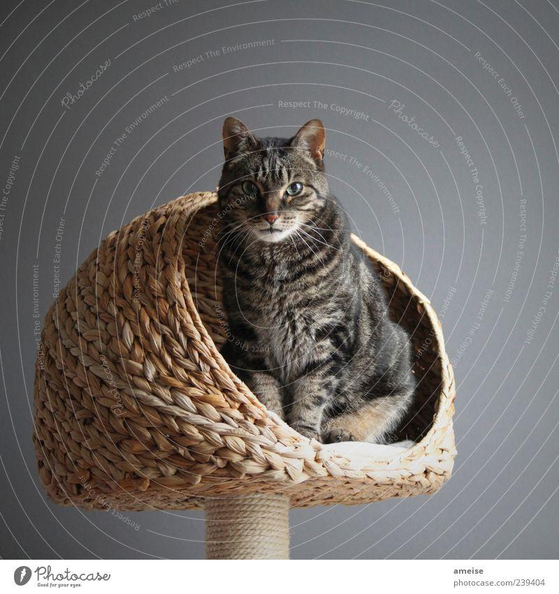 RA Pet Cat Pelt 1 Animal Threat Elegant Beautiful Gray Wall (building) Cat eyes Cat's head Cat's ears cat basket Basket Domestic cat cat tree Deserted