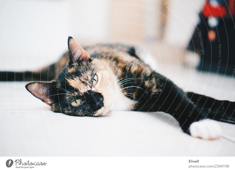 Sleepy Calico cat Lifestyle Animal Pet Cat 1 Moody Safety (feeling of) Comfortable Ignorant Relaxation calico lazy Fatigue furry Whiskers Tricolour Colour photo