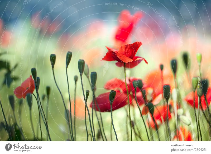 Nature Blue Green Beautiful Red Plant Summer Flower Landscape Meadow Happy Blossom Dream Moody Field Romance
