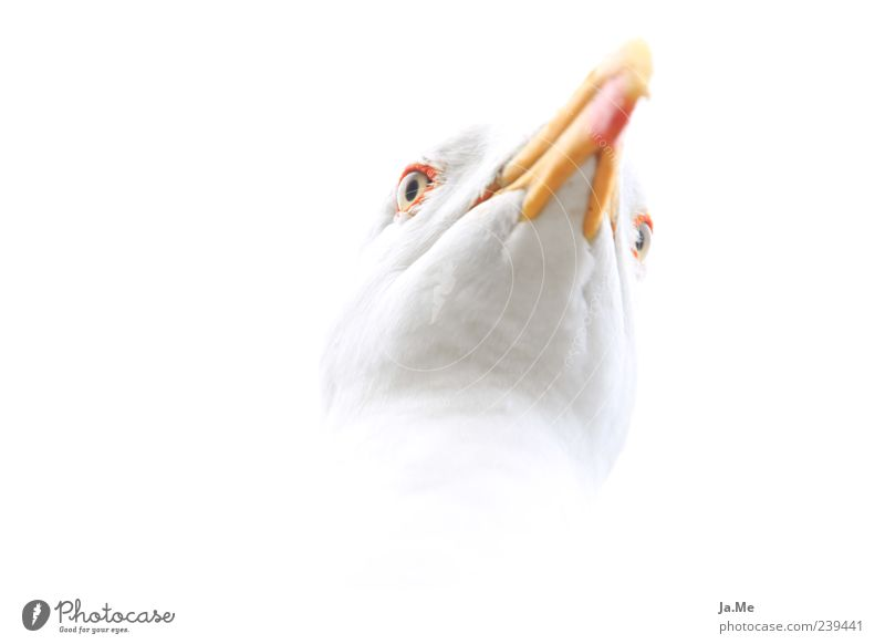 Highkey Gull Animal Wild animal Bird Animal face 1 Esthetic Bright Near White Colour photo Close-up Macro (Extreme close-up) Experimental Copy Space left