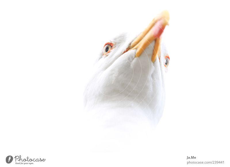 White Animal Bright Bird Wild animal Esthetic Animal face Near Seagull Beak Isolated Image High-key Macro (Extreme close-up) Bird's head Bright background