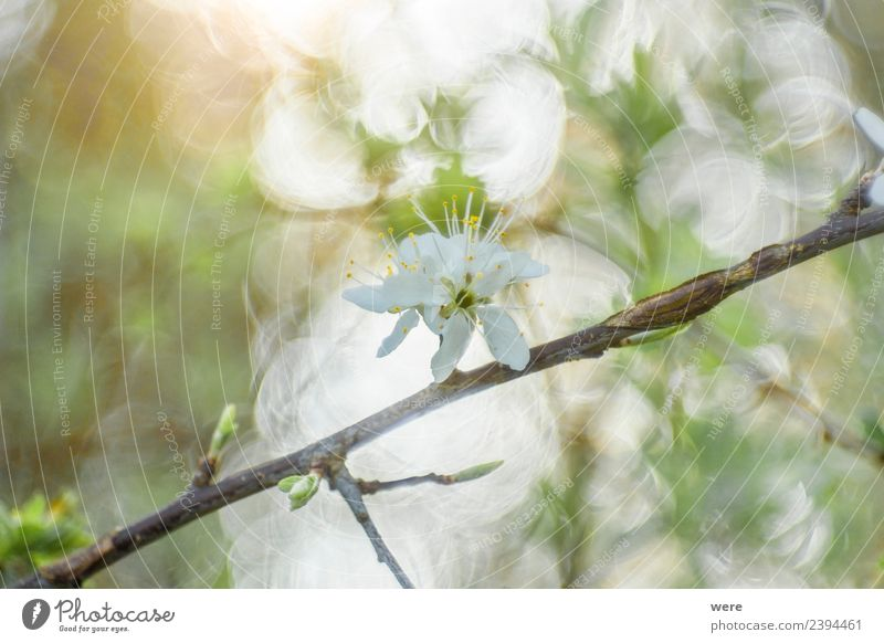Blackthorn in sunlight Nature Jump Soft Background picture blossoms Shallow depth of field blooming bokeh circles branches copy space flowering flowers forest