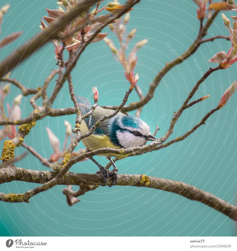 between branches Nature Spring Tree Bushes Leaf Twigs and branches Park Animal Bird Blue Tit mouse Ornithology 1 Small Cute Turquoise Spring fever Chirping