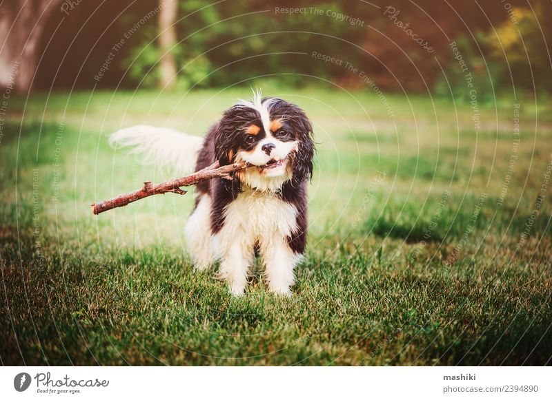 spaniel dog playing with stick Nature Dog Summer Animal Funny Grass Playing Friendship Walking Cute Pet Toys Breed Puppy Domestic Purebred