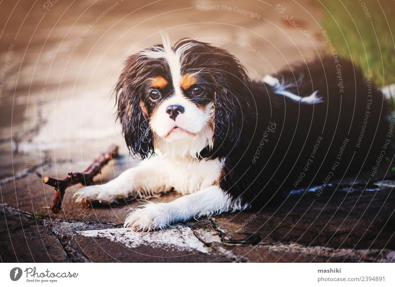 cute spaniel dog on summer walk Summer Friendship Nature Animal Grass Pet Dog Funny Cute Delightful Breed care cavalier king charles spaniel Domestic faithful