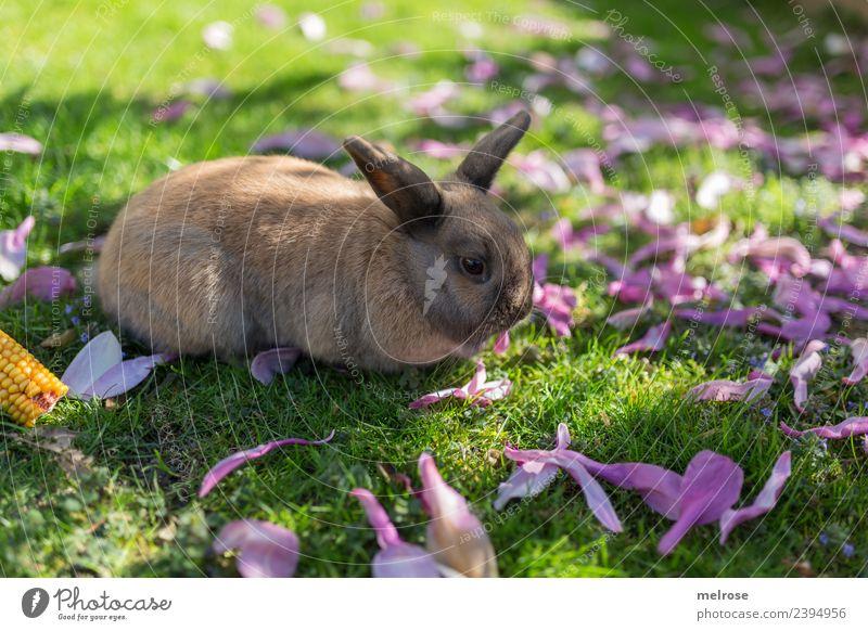 Dwarf rabbit I Nature Grass magnolia leaves Maize Garden Animal Animal face Pelt Hare & Rabbit & Bunny Pygmy rabbit Hare ears Mammal Rodent 1 Elapse Siesta