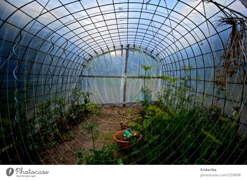 greenhouse Vegetable Tomato Dill Organic produce Sky Plant Agricultural crop Sapling Garden Greenhouse Blossoming Growth Blue Brown Colour photo Multicoloured