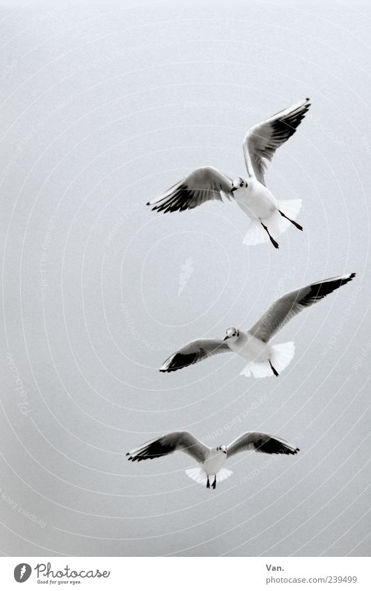 Three seagulls Nature Animal Air Sky Wild animal Bird Wing 3 Group of animals Flying Gray White Seagull Flight of the birds Worm's-eye view Copy Space top
