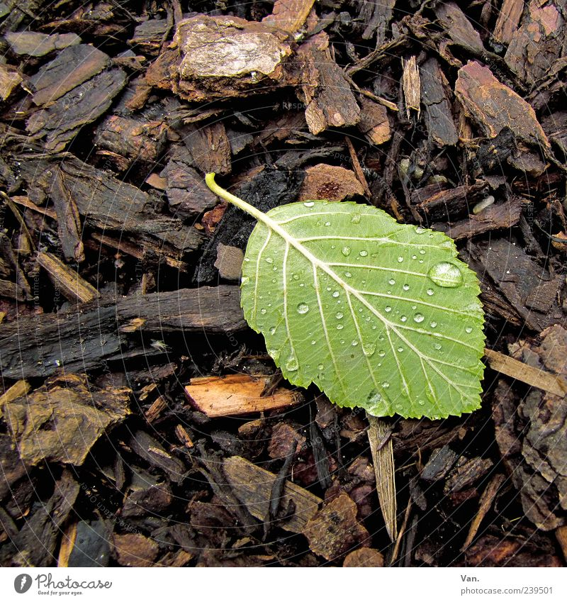 After the rain Nature Plant Rain Leaf Brown Green Beech tree Woodground 1 Drops of water Wet Damp Leaf green Lie Underside of a leaf Colour photo Exterior shot