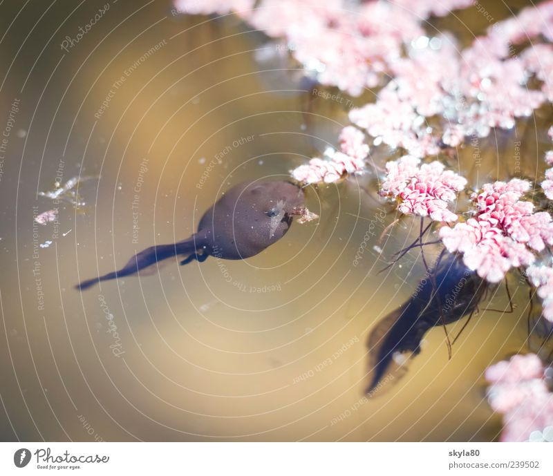 Nature Animal Blossom Brown Swimming & Bathing Pink Float in the water Frog To feed Pond Surface of water Amphibian Tadpole