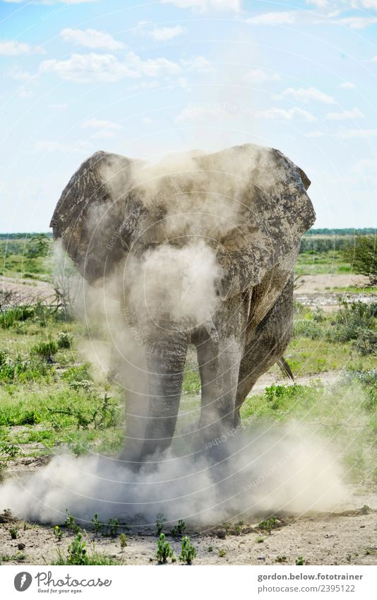 Dust Whirling Elephant in Namibia Adventure Freedom Safari Nature Landscape Earth 1 Animal Rutting season Hunting Exceptional Threat Fantastic Healthy Large