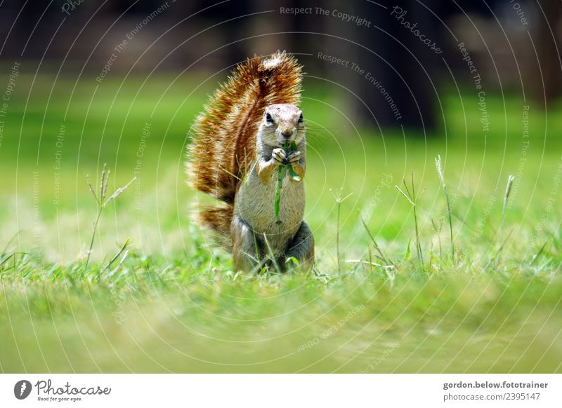 a nibbling squirrel in the meadow Nature Summer Beautiful weather Grass Park Forest Deserted Animal Wild animal 1 To feed To enjoy Attentive Watchfulness