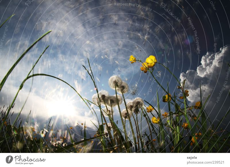 many small parachutes Environment Nature Plant Sky Sun Spring Summer Flower Crowfoot Dandelion Meadow Illuminate Esthetic Blue Yellow Colour photo Exterior shot